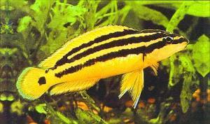 Юлидохромис орнатус или Попугай золотой (Julidochromis  ornatus)