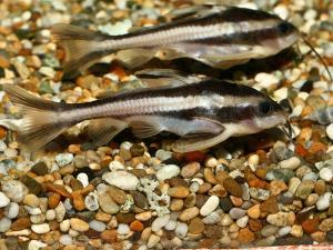 Платидорас полосатый (Platydoras costatus) -