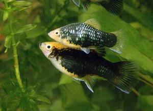 Пецилия (Xiphophorus maculatus) -