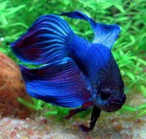 Аквариумная декоративная рыба: Петушок синий вуаль самец (Veil Tail.