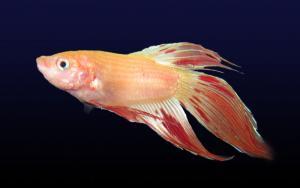 Петушок, или Бойцовая рыбка (Betta splendens) -