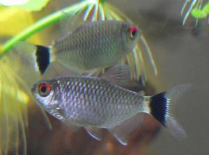 Филомена или Моэнкаузия красноглазая (Moenkhausia sanctaefilomenae)