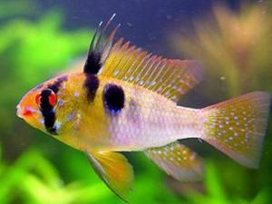 Апистограмма Рамиреза (Papiliochromis Ramirezi) -