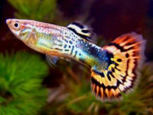 Гуппи (Poecilia reticulata) - самец