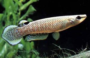 http://www.ekzotika.com/ekzotika_img/fish/small_365.jpg
