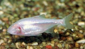 Рыба слепая (Astyanax mexicanus)
