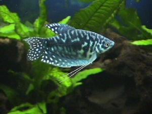 http://www.ekzotika.com/ekzotika_img/fish/small_458.jpg