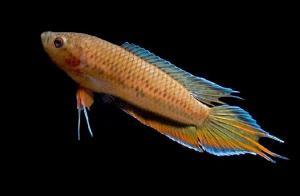 http://www.ekzotika.com/ekzotika_img/fish/small_495.jpg
