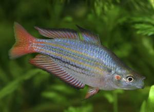 Радужница голубая. Радужница горбатая (Melanotaenia splendida)