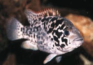 Виды аквариумных рыб.  Цихлида кубинская (Nandopsis tetracanthus)