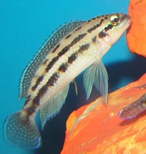 Юлидохромис Дикфельда. Юлидохромис перламутровый  (Julidochromis dickfeldi)