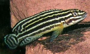 Юлидохромис Регана (Julidochromis regani) -
