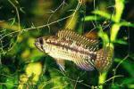 ������������ ������� (Apistogramma commbrae)