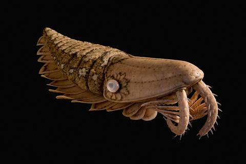 Найден самый большой хищник кембрия и ордовика