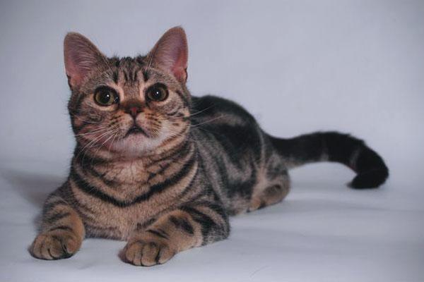 The Cat Collection №53 Американский короткошерстный Фото