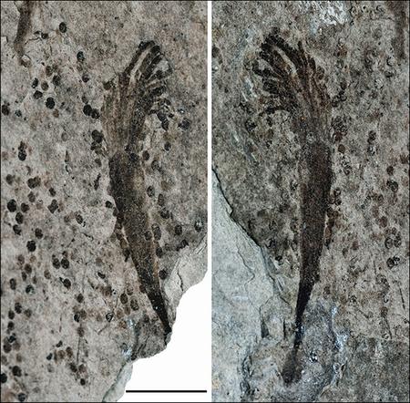 Организм, похожий на морскую водоросль; масштабная полоска — 1 см (фото Zhe Chen).