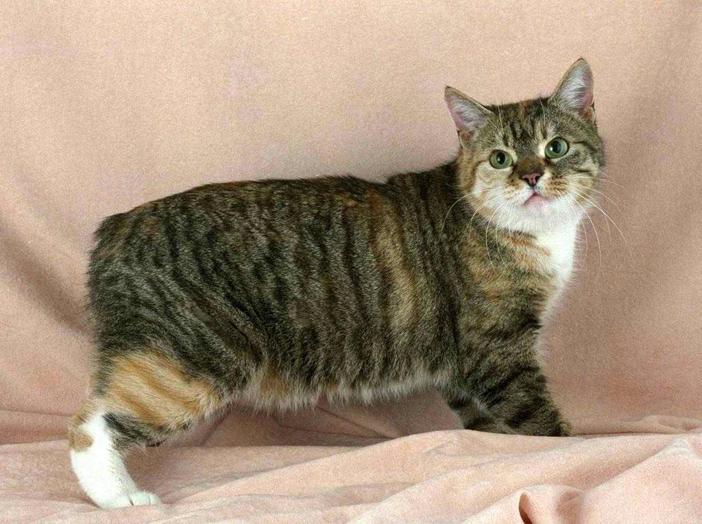 Мэнкс (Manx, Мэнская бесхвостая кошка) кошка: фото, купить ...: http://www.ekzotika.com/cats/menks/