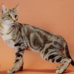 Соукок (Кенийская лесная кошка) кошка: фото, купить, цена, видео