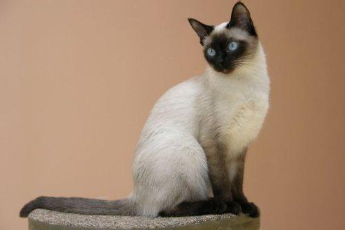 Тайская традиционная сиамская кошка