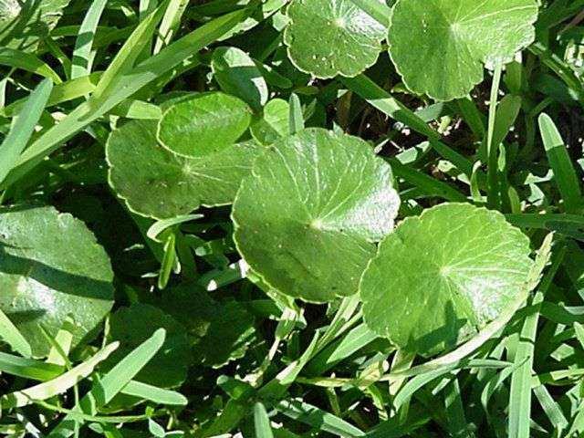 Домашние растения с круглыми листьями