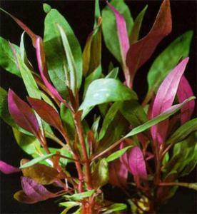 Альтернантера Рейнека (Alternanthera reineckii или Alternanthera rosaefolia)