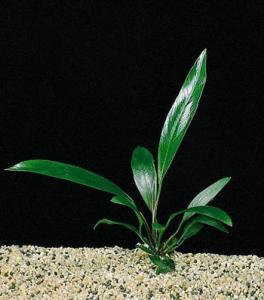 Анубиас узколистный (Anubias lanceolata или Anubias barteri var. Angustifolia)