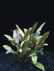 Криптокорина Беккетта (Cryptocoryne becketii или Cryptocoryne petchii) -