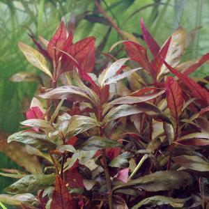Альтернантера лиловая или Очереднопыльник большой (Alternanthera lilacina)