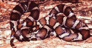 ����������� �� (Lampropeltis triangulum)