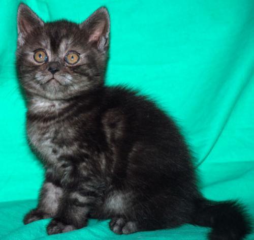 котята шотландские черный дым фото характеристики открыток электронном виде