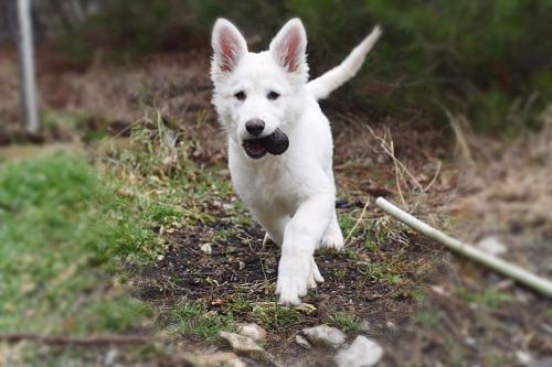 швейцарская овчарка фото щенки