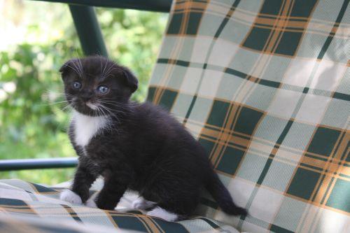 черно-белые котята вислоухие фото
