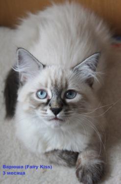 невская маскарадная котята 2 месяца фото