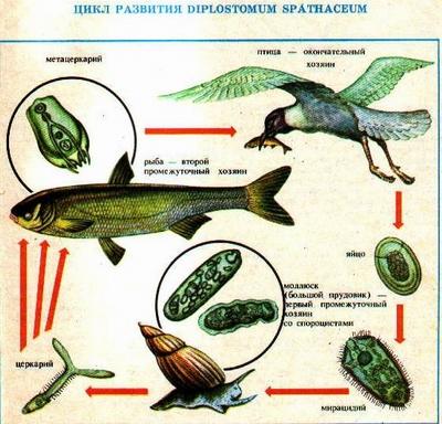 глазные паразиты у человека лечение народными средствами