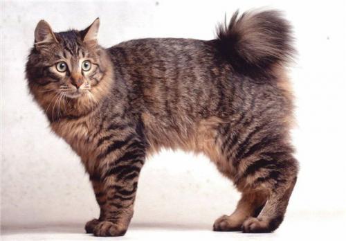 цена кошки бобтейл фото