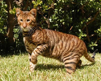 Кот тигр порода, кошка похожая на тигра, все о породе, цена, болезни, уход и кормление
