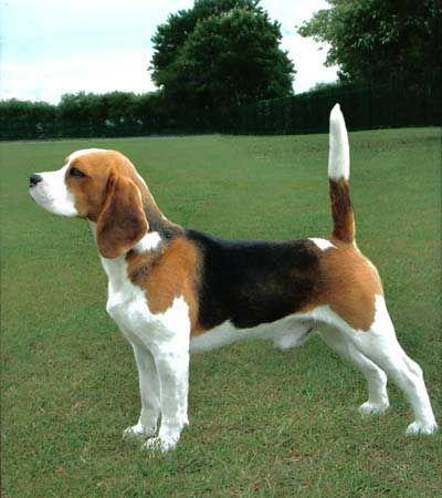 порода собак английский бигль