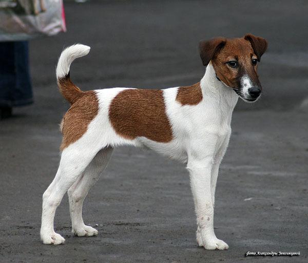 гладкошерстные породы собак фото с названиями