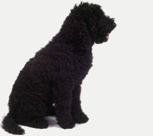 барбет собака фото