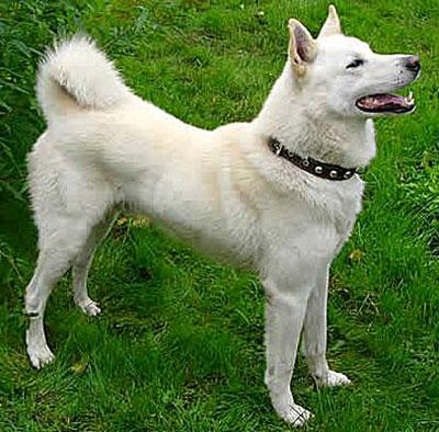 Западно-сибирская лайка - характеристика и описание породы, фото и цена щенка
