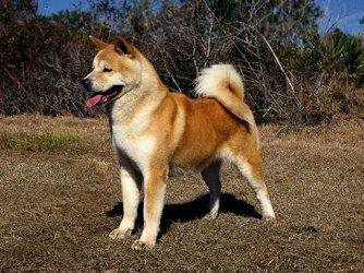 Хоккайдо порода собак