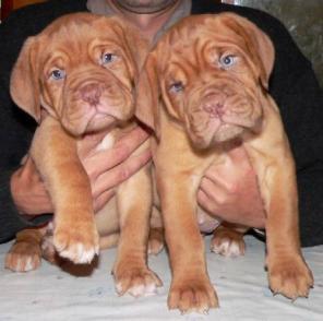 Сравнение пород собак - Бордоский дог (Французский мастиф)