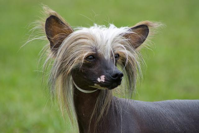 Картинки по запросу фото китайской хохлатой собаки