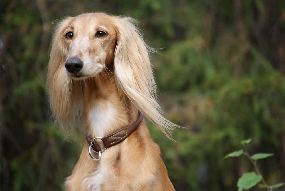 салюки фото собак