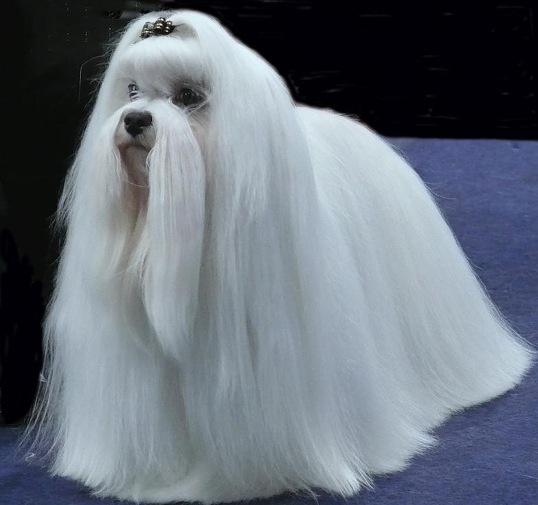 собака карликовая болонка