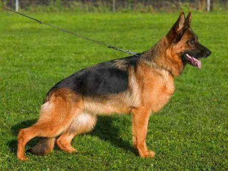 собака немецкая овчарка фото цена