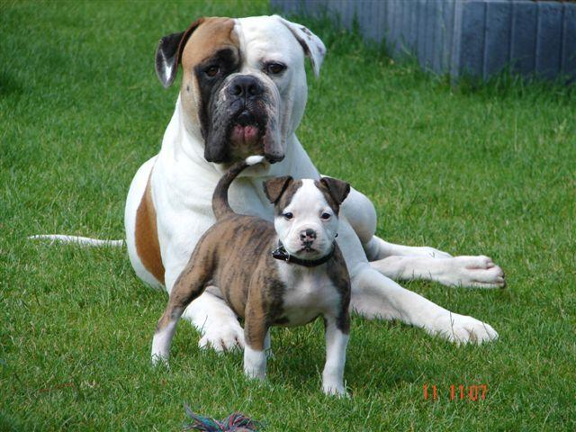 американский дог собака фото
