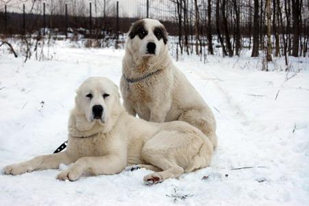 алабай фото собака цена