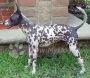 Ксолоитцкуинтли (Мексиканская голая собака)