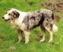 Уэльская овчарка (уэльский колли, вельш-корги)